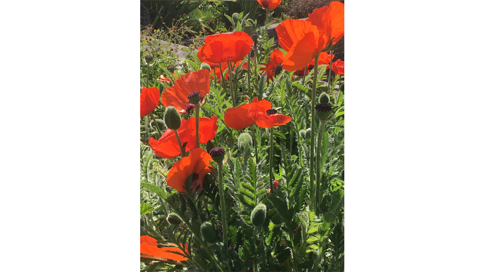 Bentley Priory Museum Poppies by Alan Caw