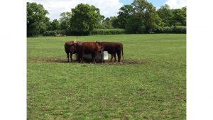 Cattle on Attenborough Fields by Annie Cooper