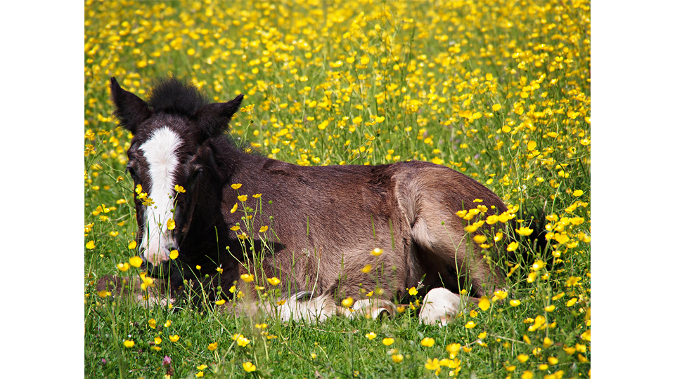Foal in Flowery Spring Meadow by Simone Ecker