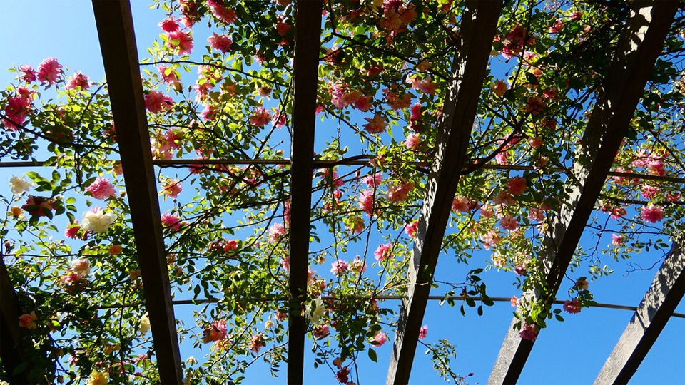 Rose Pergola by Lynda Bullock