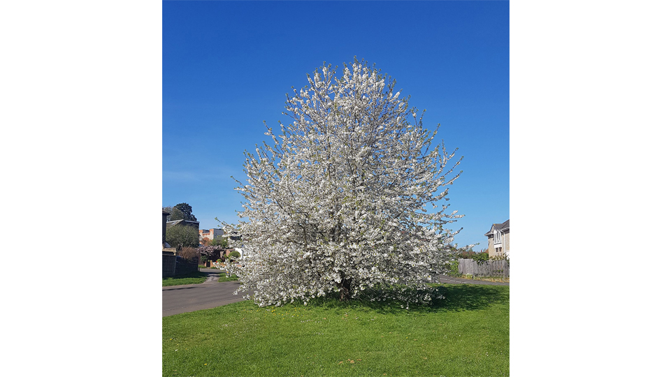 Tree blossom in Coldharbour Lane, Bushey by Andrew Gunton