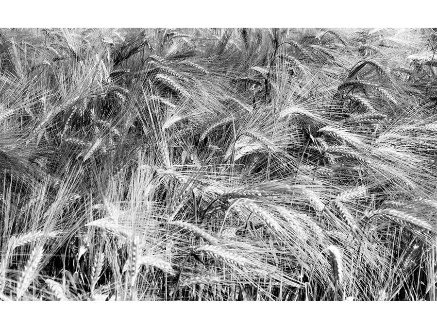 Barley by John McCormack