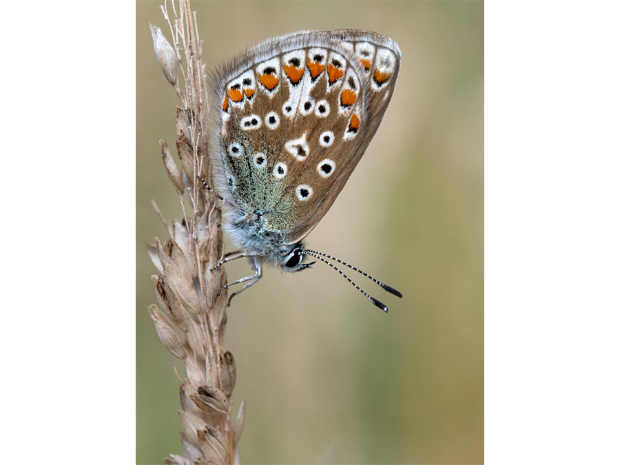 Highly Commended - Common Blue on Rye Grass by Bill Cooper