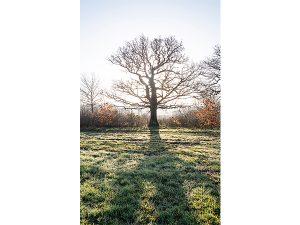 Oak tree on Merry Hill by John McCormack